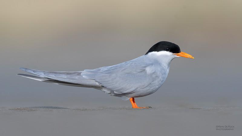 Black-fronted Tern, Christchurch, SI, NZ, Sep 2018-6.jpg