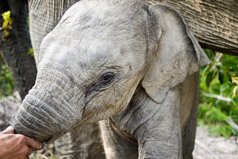 A close up of a baby boy elephant in rural Laos.