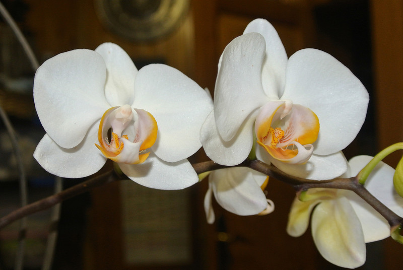 2013-05-05 Orchid 'Remi' 03.JPG