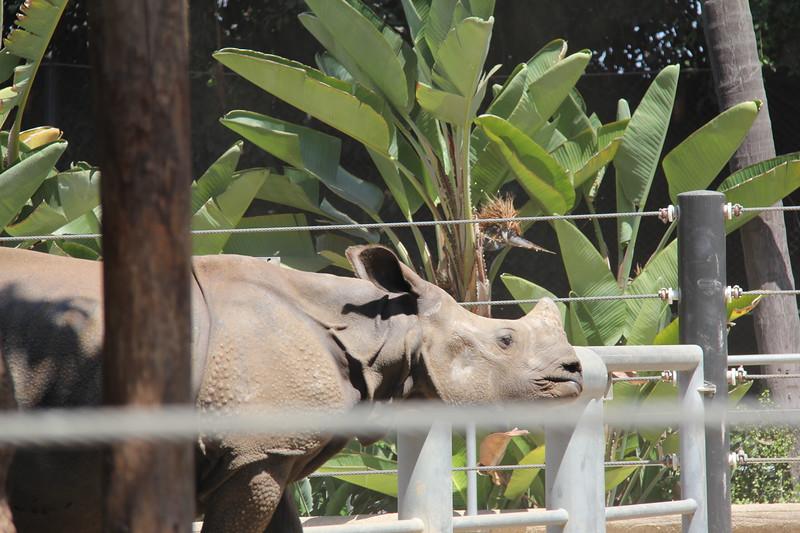 20170807-056 - San Diego Zoo - Rhinoceros.JPG