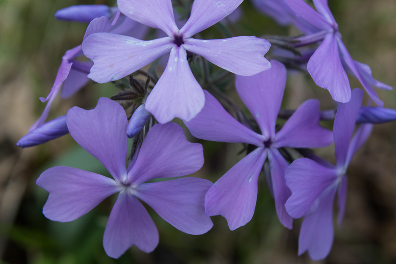 Purple Phlox