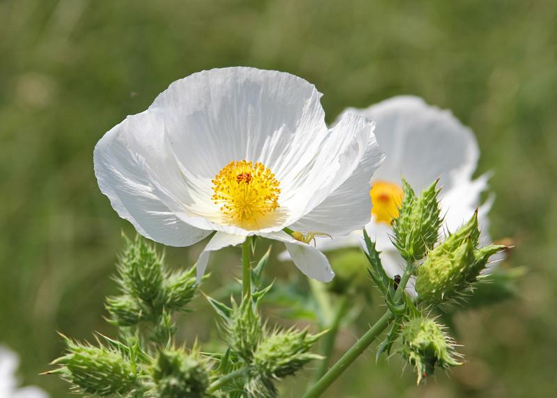 Argemon albiflora - White Prickly Poppy