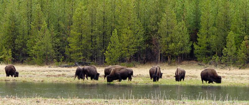 Buffalo in the Spring Rain