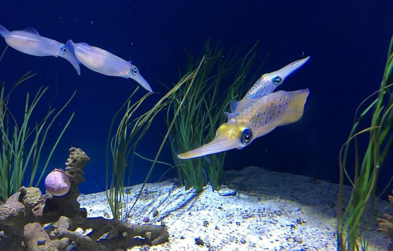 Reef squids