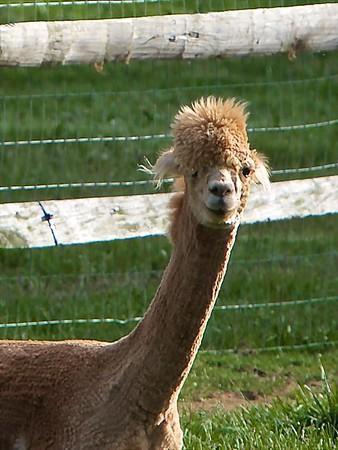 2017.5.27 - Alpacas of Somerset Hills