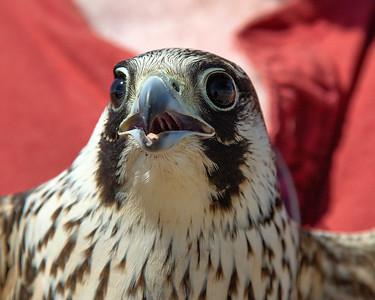 Sapphire-A wild trapped Peregrine Falcon