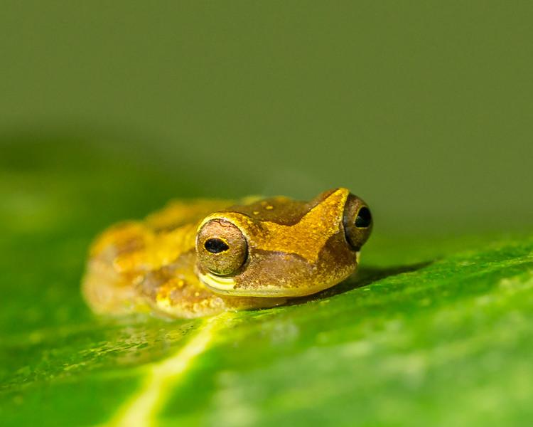 Hourglass Tree Frog
