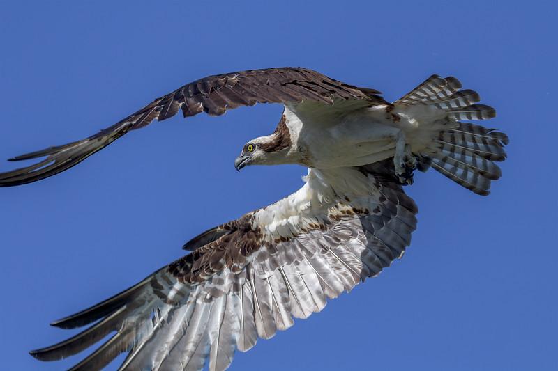 2021_KSMetz_Florida_Osprey Trip_April06_NIKON D5_0847-Edit.jpg