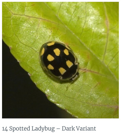 14 Spotted YellowLady Beetle