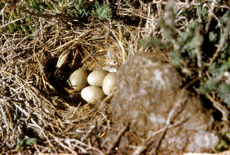 Horned Lark (Eremophila alpestris), 8 miles west of Brigham City, Box Elder Co., Utah, 1952