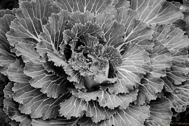 Cabbage Swirl