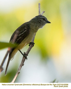 Yellow-crowned Tyranulet A83598.jpg