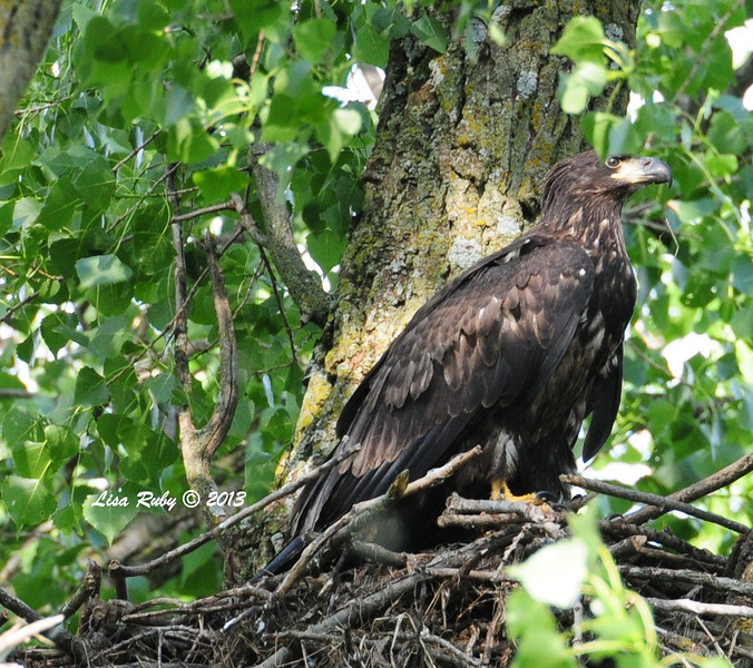 Juvie on the nest. 6/26/13.