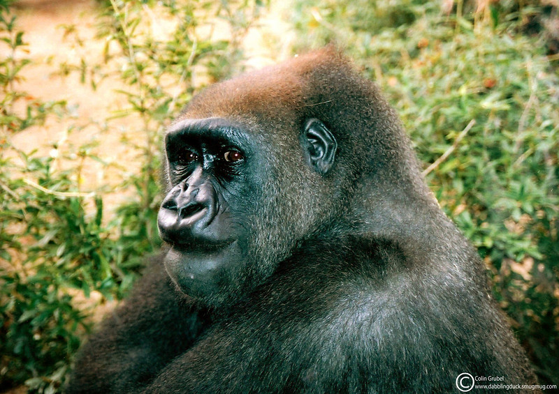 thoughtful gorilla WM.jpg