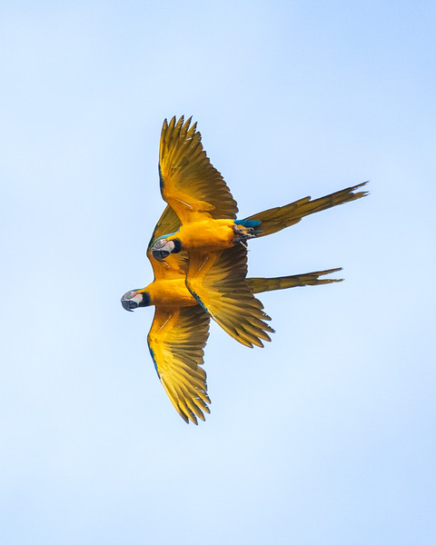 Macaw Pair Flying.jpg