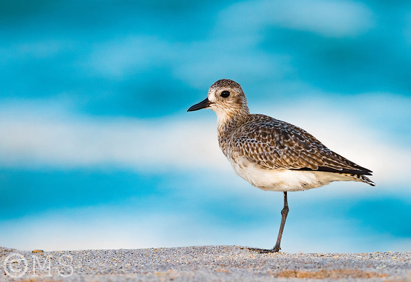 Plover Image Gallery