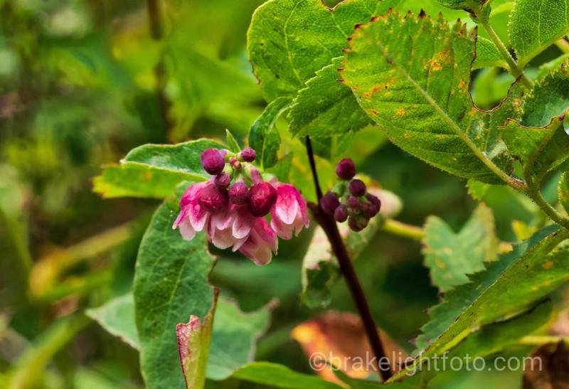 Common Snowberry - Symphoracarpos albus