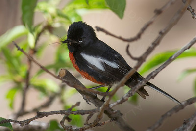 Redstart, Painted