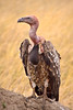 Close up view of a vulture standing on a mound of dirt. Photography fine art photo prints print photos photograph photographs image images artwork.