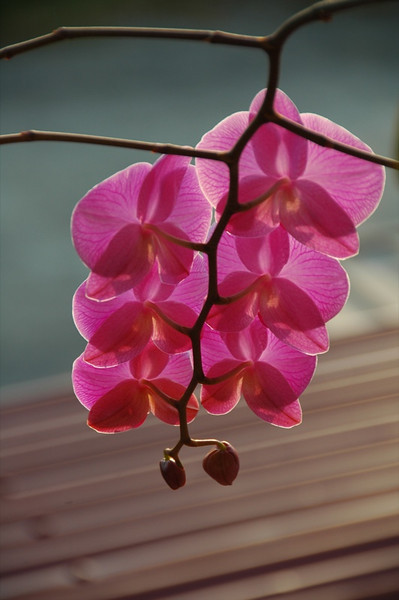 Pink Orchids - Inle Lake, Myanmar (Burma)