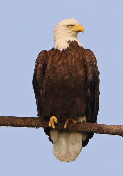 bald eagle york maine 3.jpg
