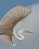 Great Egret Over Alligator Farm #2 04/14