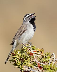 Black-throated Sparrow (Amphispiza bilineata)