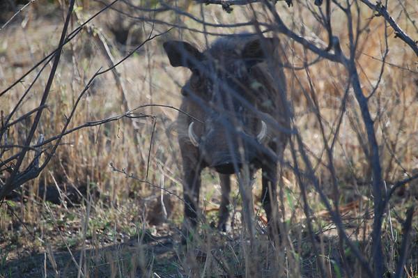 Kruger Warthogs