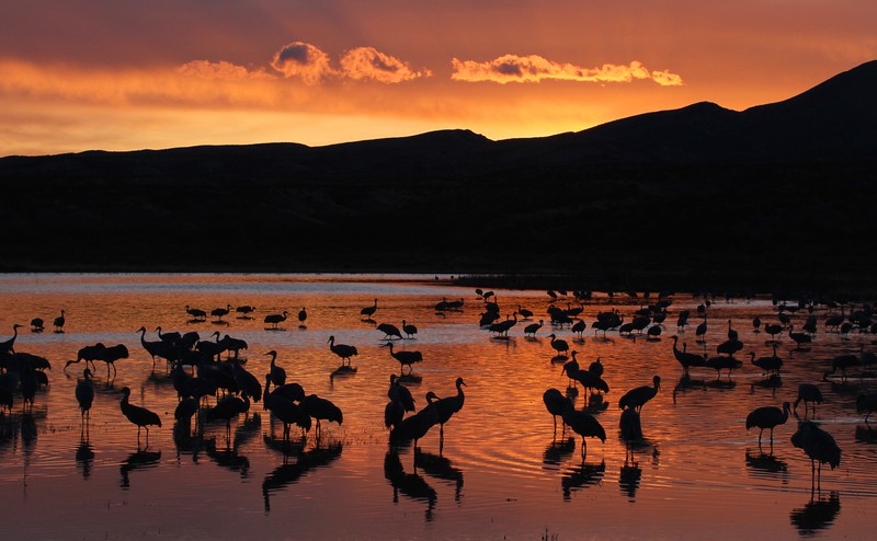 Sandhill Cranes at sunset rays 0007115.jpg