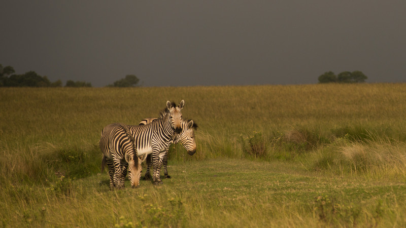 Mountain Zebra, Equus zebra. Botlierskop Private Game Reserve, South Africa.