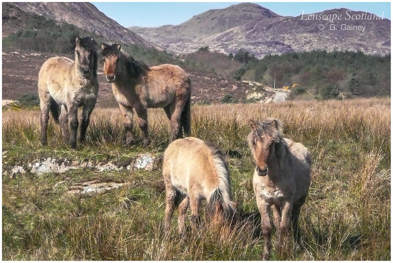 Rhum ponies, Kinloch Glen