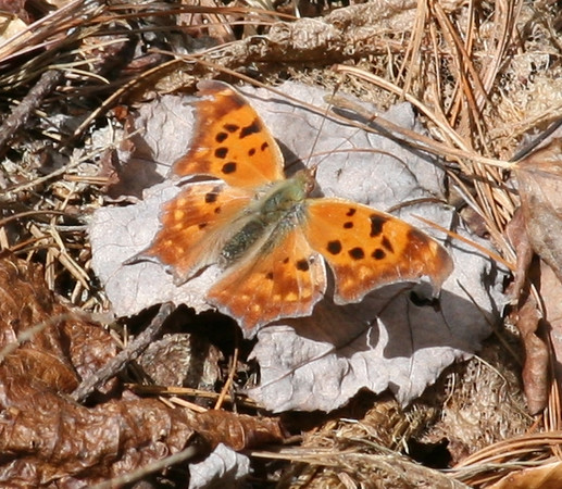 Polygonia interrogationis.jpg