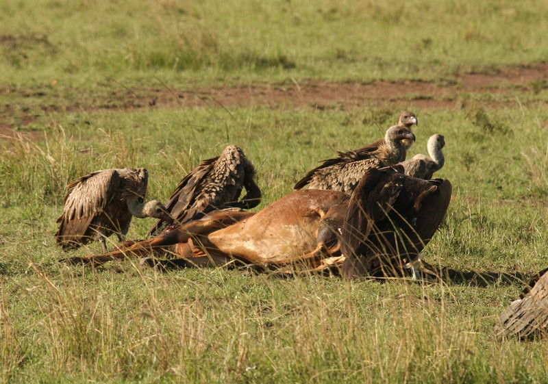 The vulture on the left is pecking at the topi's eyes.