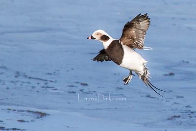 Irondequoit Bay Waterfowl