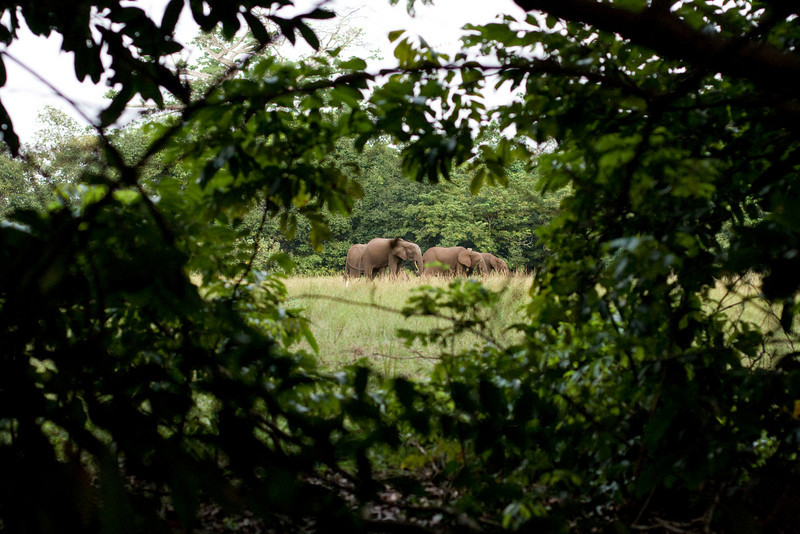 Elephants nearby!  The closeness does not seem so impressive until you realize this was taken with a 50mm lens!