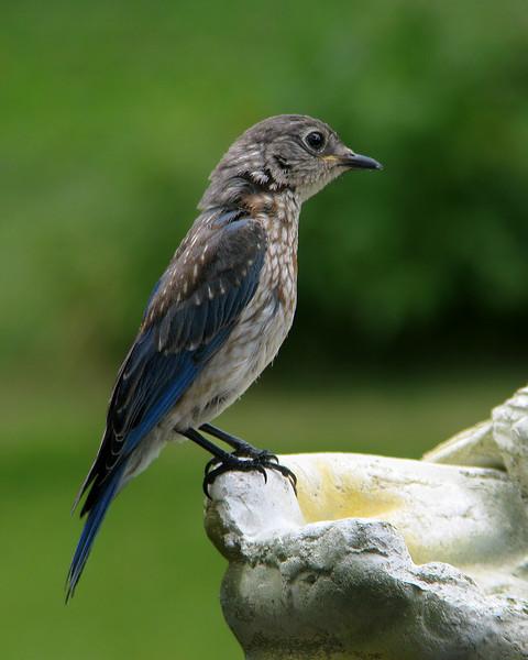 bluebird_fledgling_7895.jpg