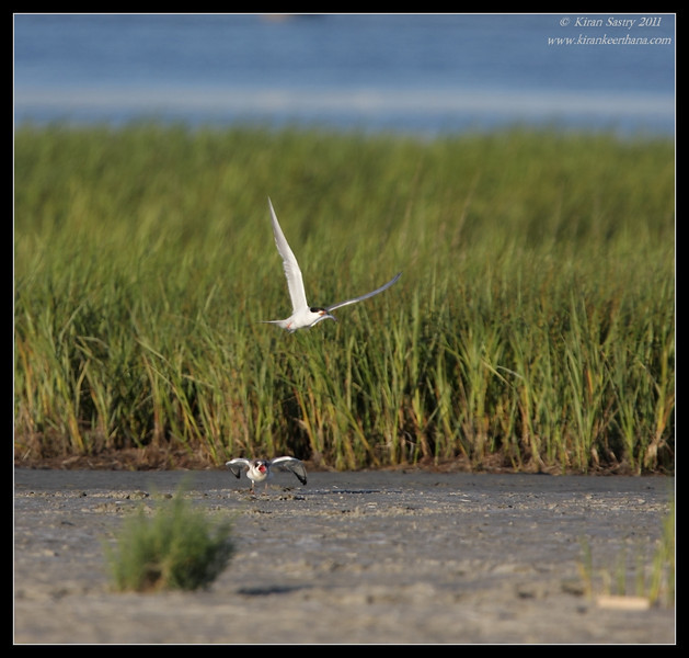 Forster's Tern with feed flies away while juvenile complains, Robb Field, San Diego River, San Diego County, California, July 2011