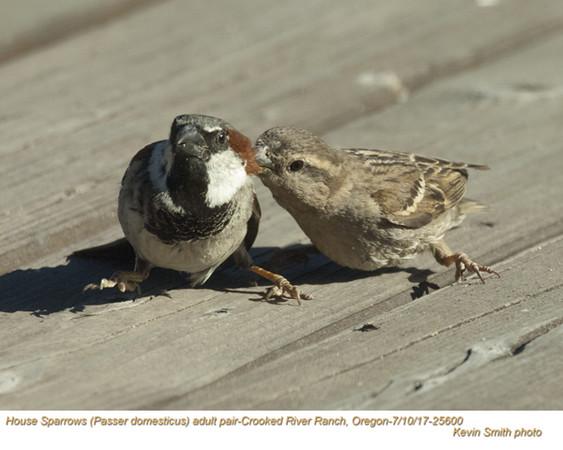House Sparrows P25600.jpg