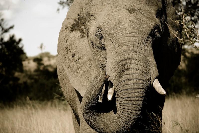 Elephant Sepia.jpg