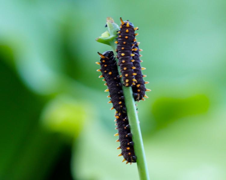polydamas caterpillars