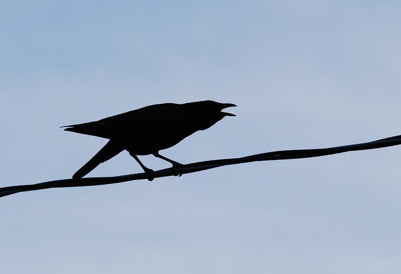 American Crow (2).JPG
