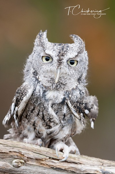 Eastern Screech Owl Grey Phase-1560896734877.jpg