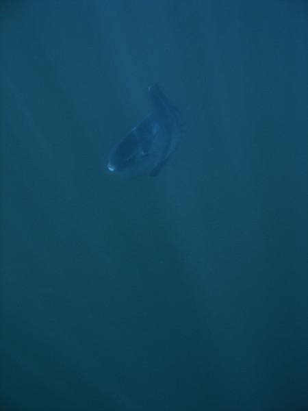 Sunlit Mola Mola at Naples reef