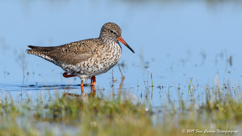 Rødben - Tringa totanus - Common redshank