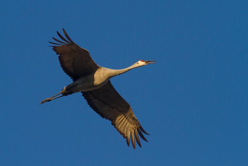Sandhill Crane flock flying flight Sherburne National Wildlife Refuge Sherburne County MNIMG_1600.jpg