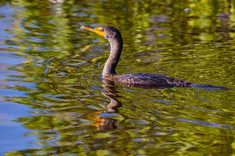 Double-crested Cormorant, Merritt Island NWR