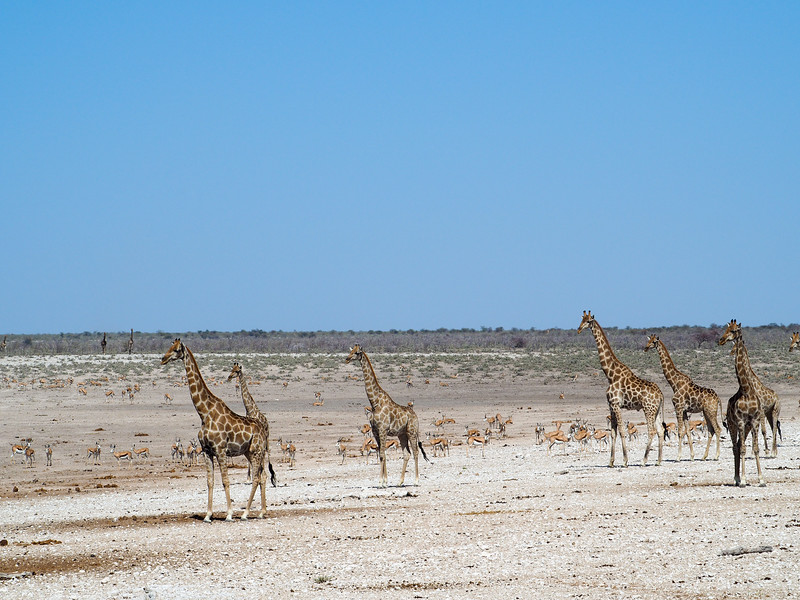 Alert giraffes in Etosha National Park
