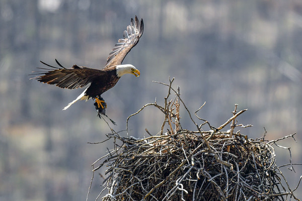 5-29-19 Bald Eagle Nest Jasper Ab