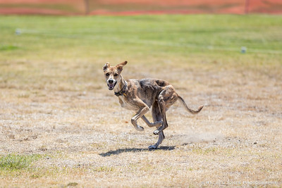 Lure Coursing - 09 Jun 2018