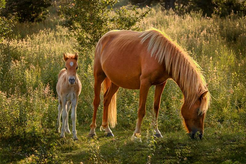 Wild Pony and Foal #4, MR